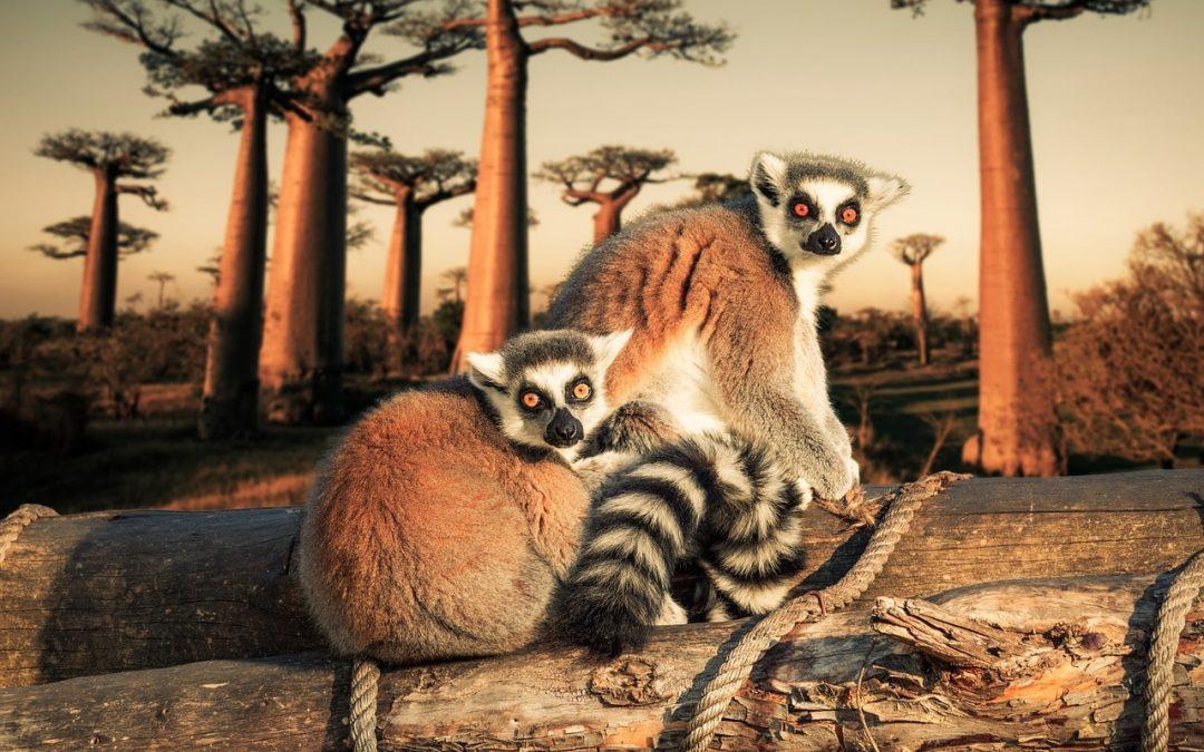 des lémuriens a Madagascar devant les baobabs