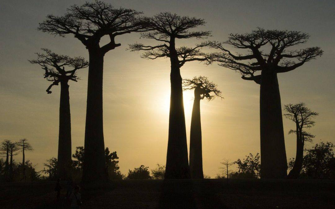 Baobab sous le couché du soleil a madagascar